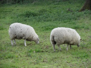 Sheep - Alton, UK 2012