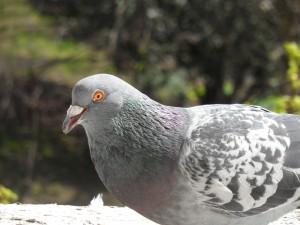 Pigeon - London, UK, 2013