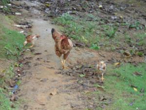 Hens - Rio de Janeiro state, Brazil, 2012