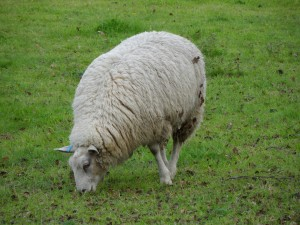 Sheep - Alton, UK, 2012