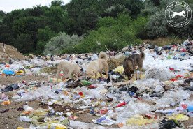 Stray dogs – Cernavoda, Romania, 2011 (Photo: Save The Dogs)