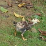 Chick - Paraty, Brazil, 2012