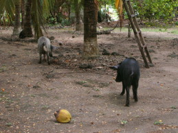 Pigs – Isla del Sol, Colombia, 2009