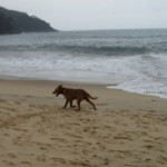 Dog walking by the ocean - Pauba, Brazil, 2012