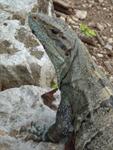 Photo - Iguana – Chichén Itzá, Mexico, 2003