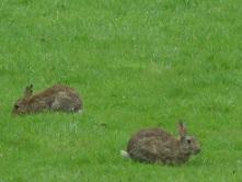 Rabbits in monastery's garden - West Malling, UK, 2014