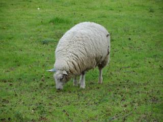 Sheep - Alton, UK, 2012