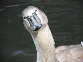 Swan on Regent's Canal - London, UK, 2011