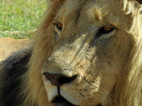 Rescued lion in Lionsrock - Betlehem, South Africa, 2011