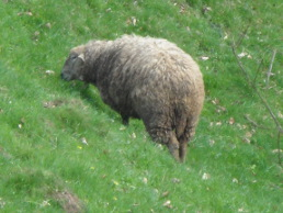 Sheep grazing - Wildenburg, Germany, 2014