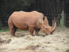 Rhinoceros in zoo - Nairobi, Kenya, 2013